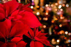holiday plant blog