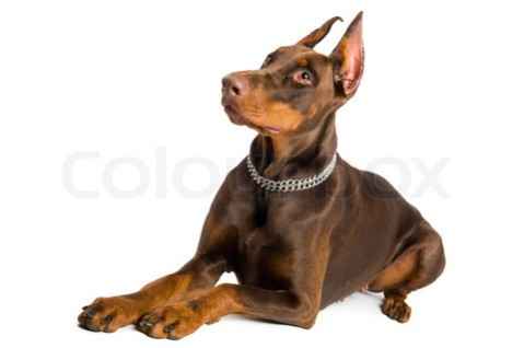 doberman isolated over white